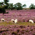 De-paarse-heide-op-de-Veluwe-Foto-ANP